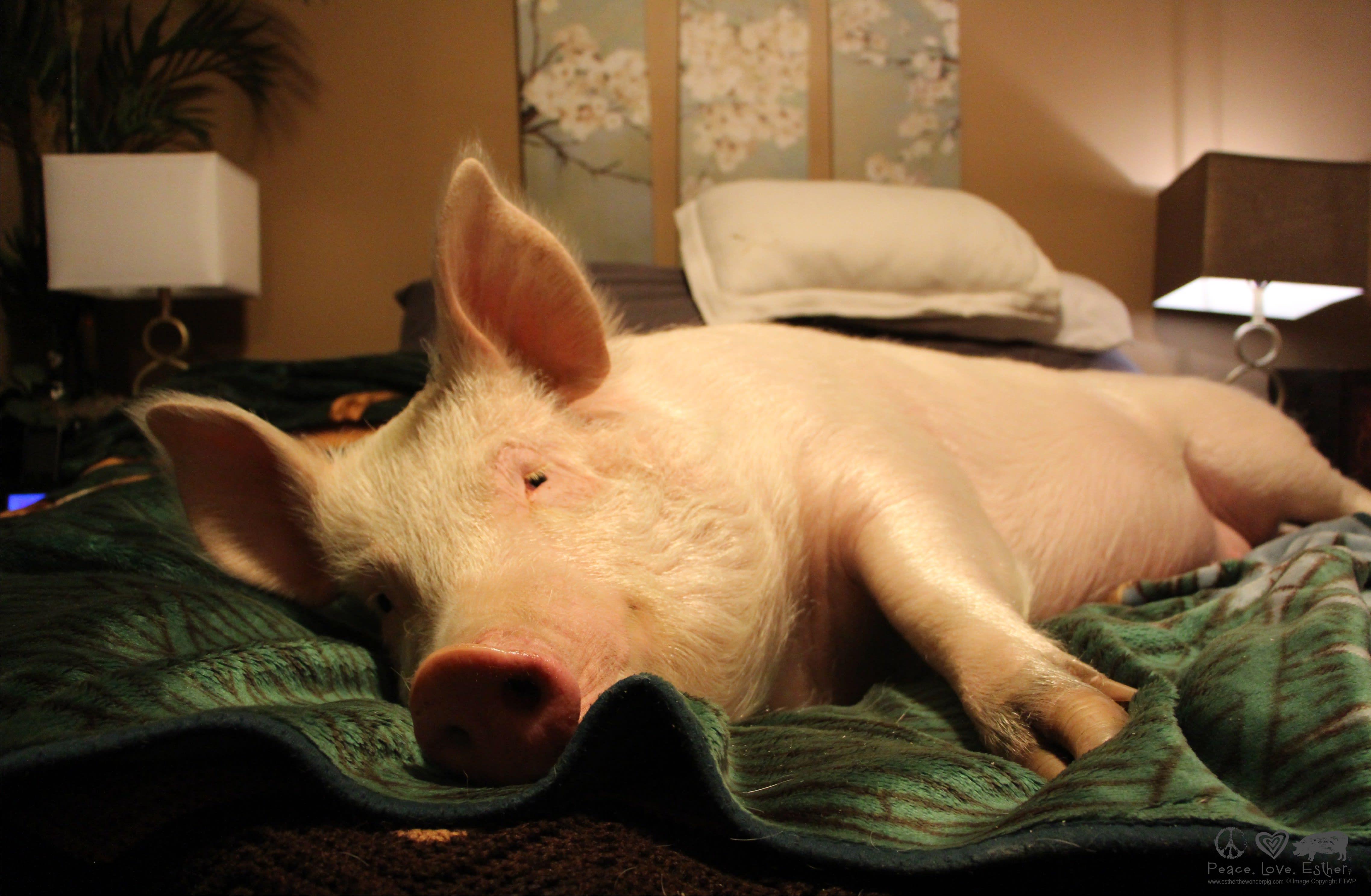 esther the wonder pig farm sanctuary indiegogo